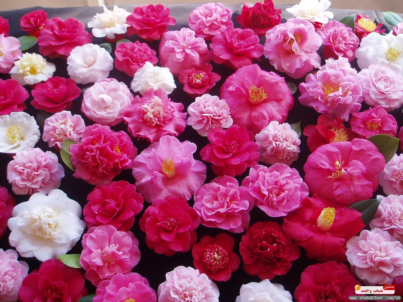 بالصور شعر عن الورد , اجمل كلمات الشعر عن الورد 192 3