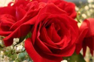 صورة شعر عن الورد , اجمل كلمات الشعر عن الورد