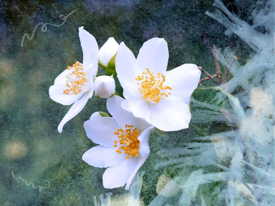 صور صور ورد الياسمين , شاهد بالصور اجمل النباتات العطرية
