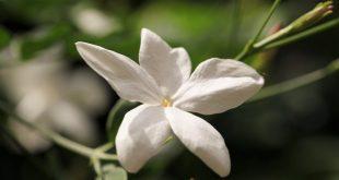 صور ورد الياسمين , شاهد بالصور اجمل النباتات العطرية