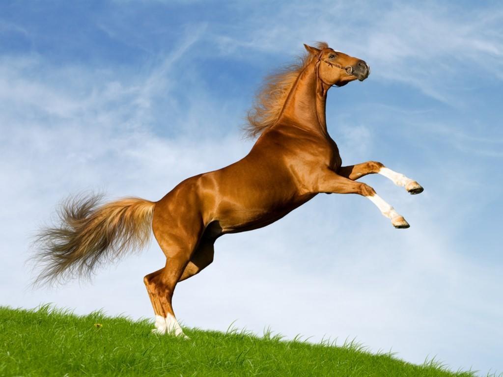 بالصور اجمل خيول في العالم , شاهد بالصور اجود انواع الخيول 2042 12