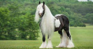 صوره اجمل خيول في العالم , شاهد بالصور اجود انواع الخيول