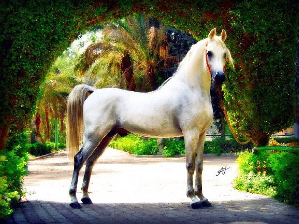 بالصور اجمل خيول في العالم , شاهد بالصور اجود انواع الخيول 2042 2