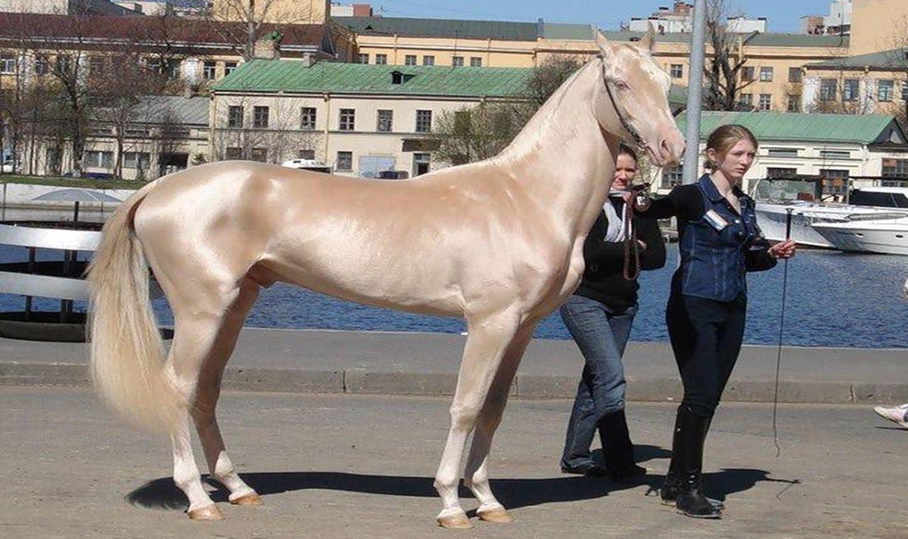 بالصور اجمل خيول في العالم , شاهد بالصور اجود انواع الخيول 2042 3
