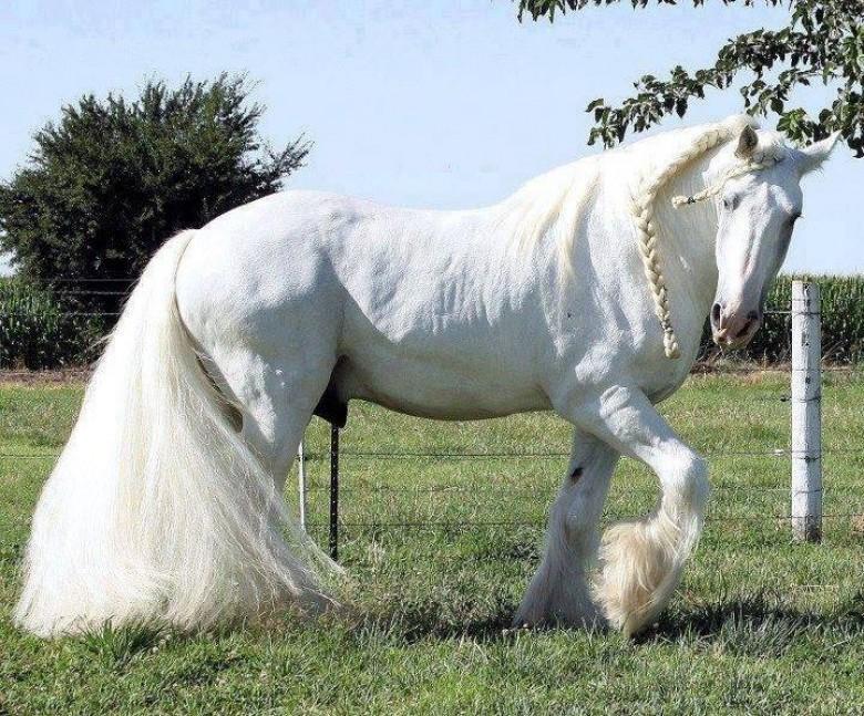 بالصور اجمل خيول في العالم , شاهد بالصور اجود انواع الخيول 2042 5