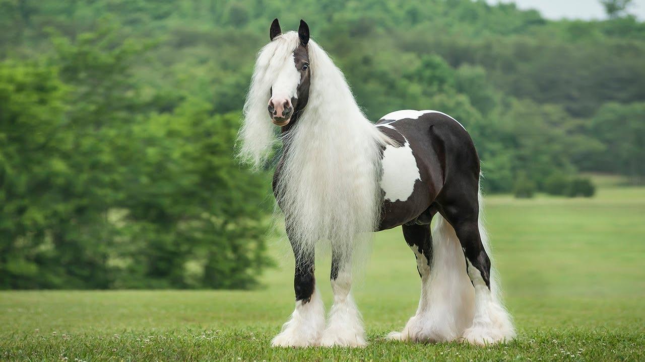 بالصور اجمل خيول في العالم , شاهد بالصور اجود انواع الخيول 2042