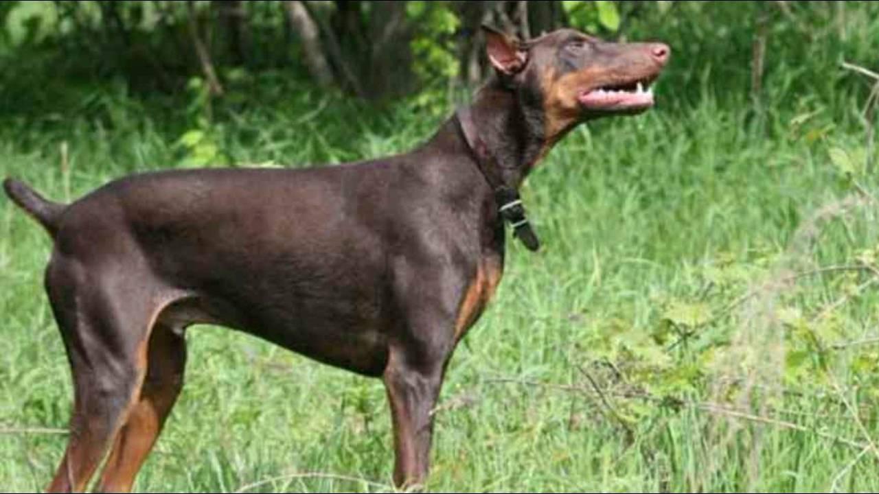 بالصور اشرس انواع الكلاب , شاهد بالصور اخطر الكلاب الفتاكة 2048 11