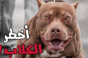 صور اشرس انواع الكلاب , شاهد بالصور اخطر الكلاب الفتاكة