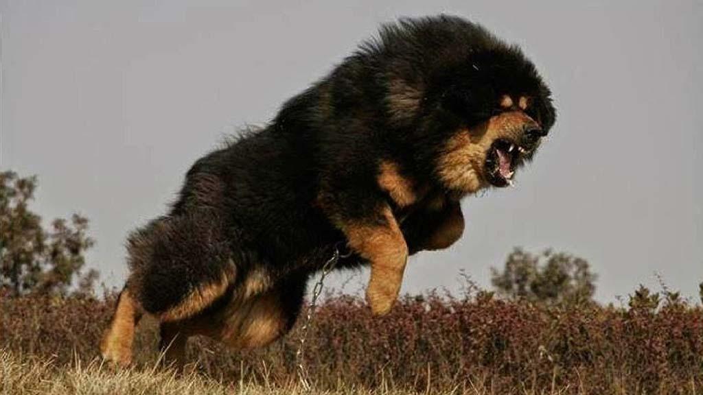 بالصور اشرس انواع الكلاب , شاهد بالصور اخطر الكلاب الفتاكة 2048 3