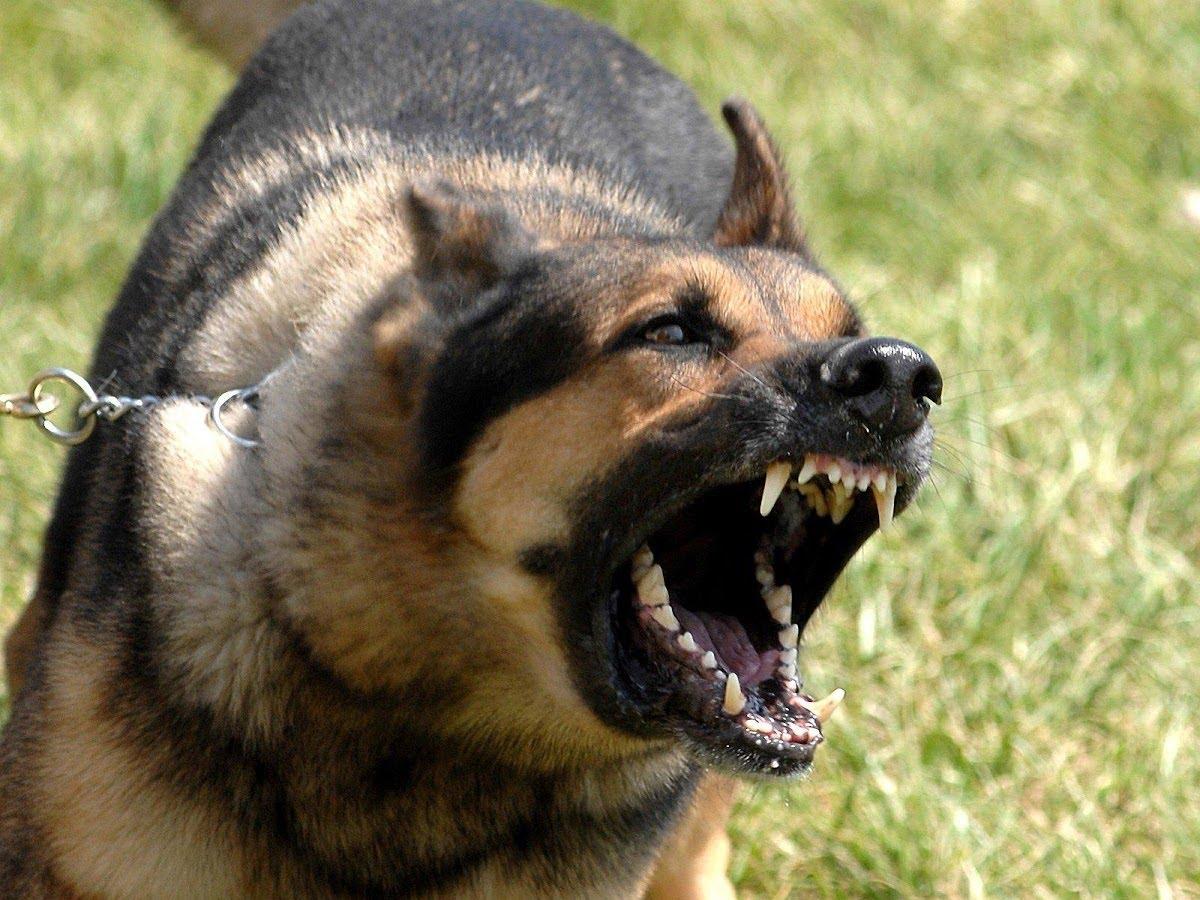 بالصور اشرس انواع الكلاب , شاهد بالصور اخطر الكلاب الفتاكة 2048 4