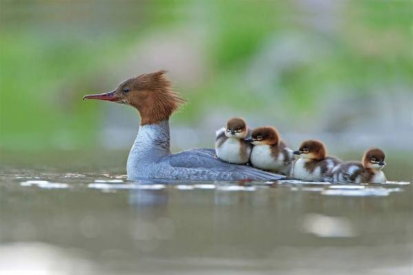 بالصور صور طيور , اجمل صور للطيور 394 15