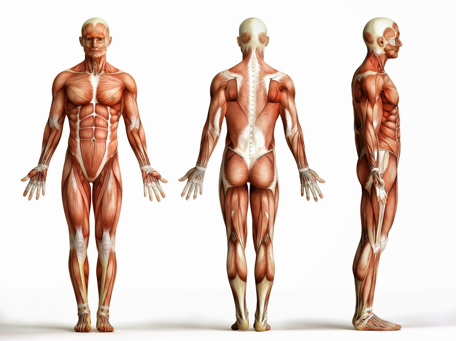 بالصور كم عدد عضلات جسم الانسان , تعرف على اهمية عضلات جسم الانسان وعددها 465 2