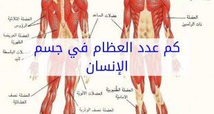 كم عدد عضلات جسم الانسان , تعرف على اهمية عضلات جسم الانسان وعددها
