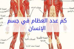 صور كم عدد عضلات جسم الانسان , تعرف على اهمية عضلات جسم الانسان وعددها
