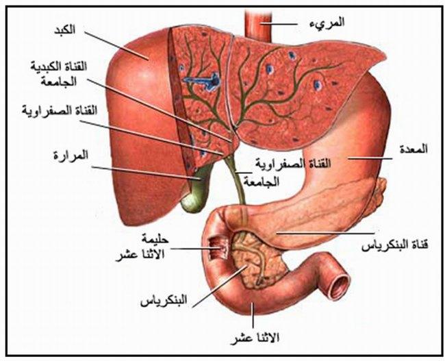 بالصور جسم الانسان بالصور , تعرف بالصور على ما يحتوية جسم الانسان 1771 12