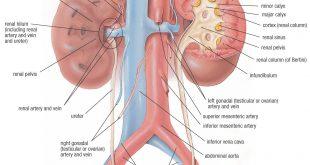 جسم الانسان بالصور , تعرف بالصور على ما يحتوية جسم الانسان