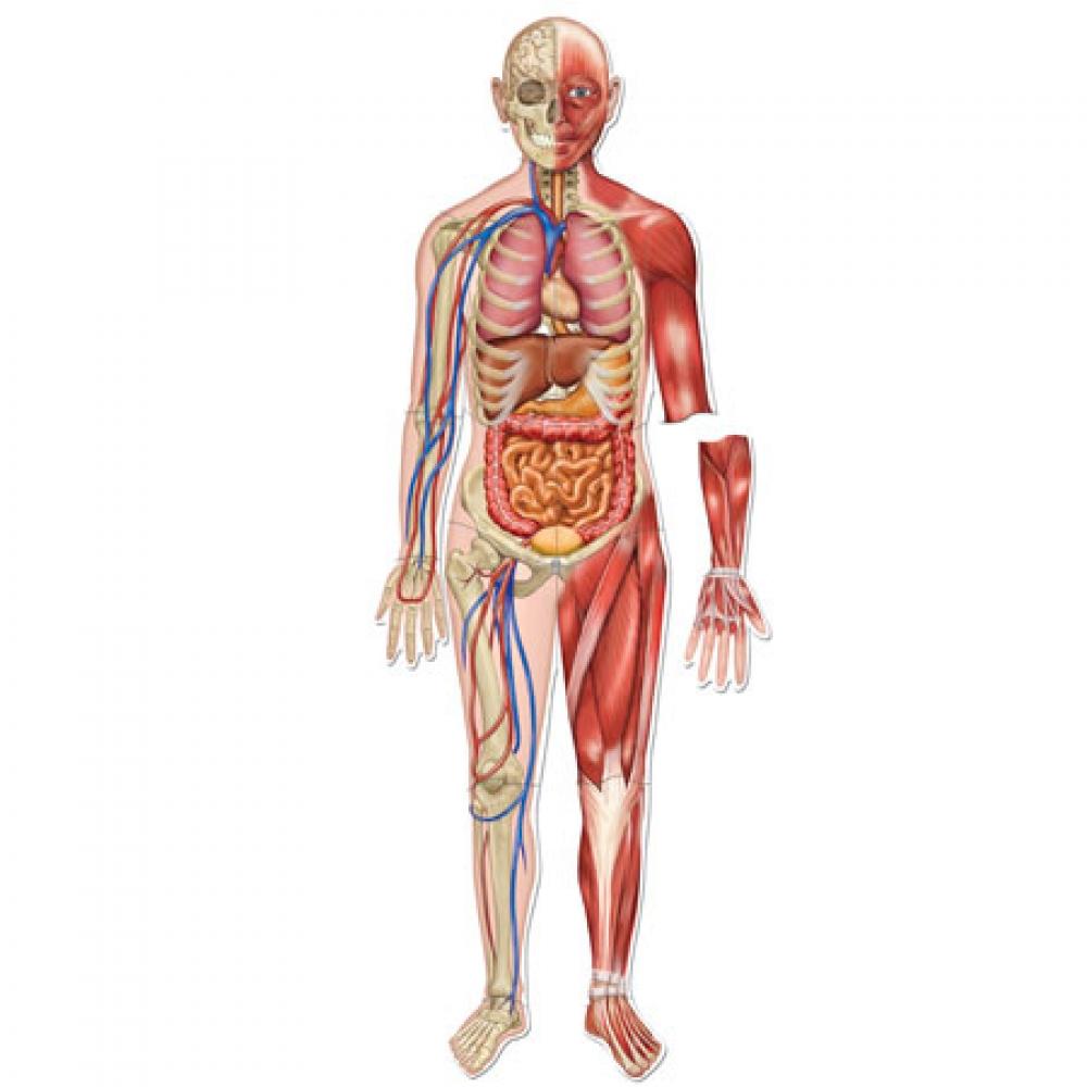 بالصور جسم الانسان بالصور , تعرف بالصور على ما يحتوية جسم الانسان 1771 3