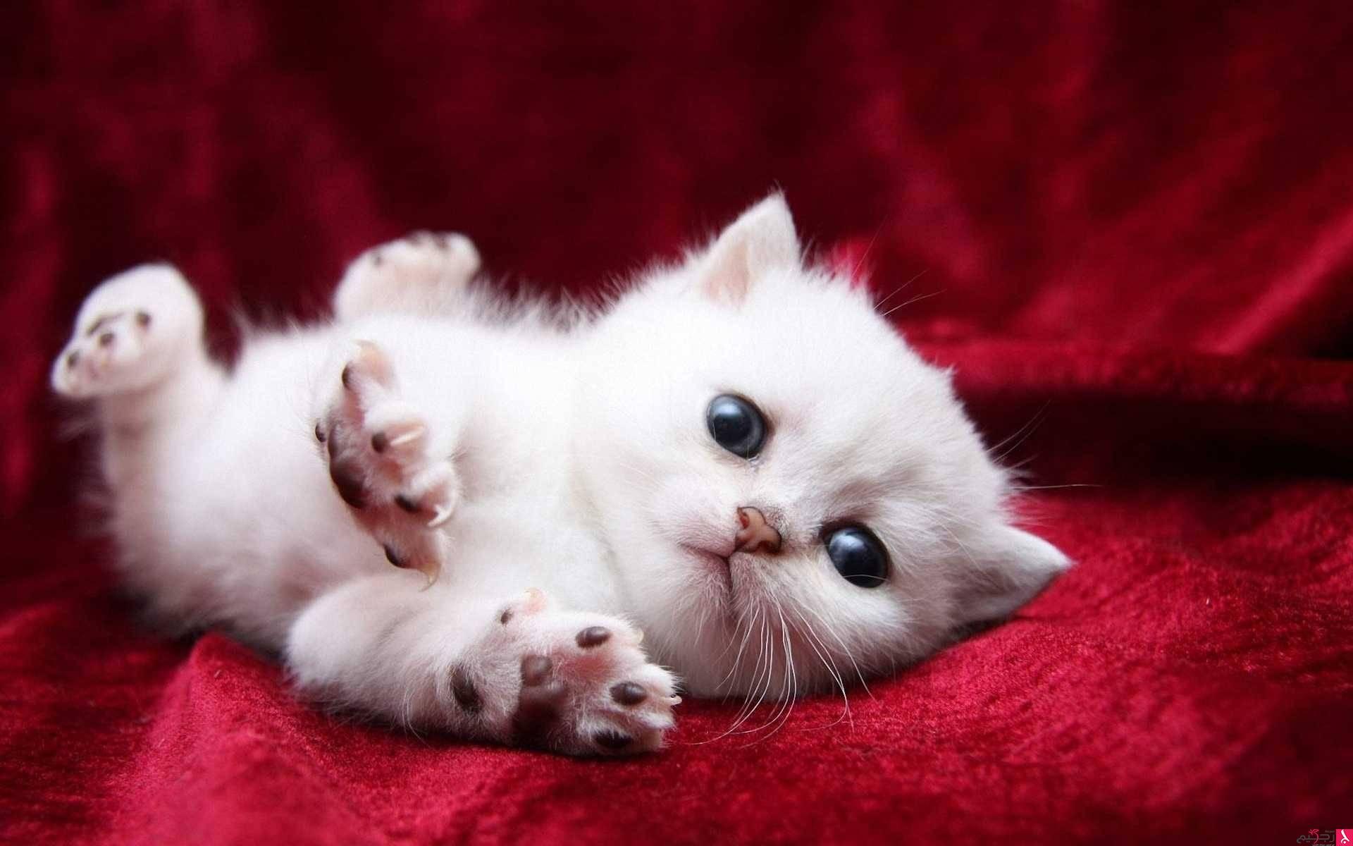 صور اجمل صور قطط , شاهد بالصور ارق انواع القطط