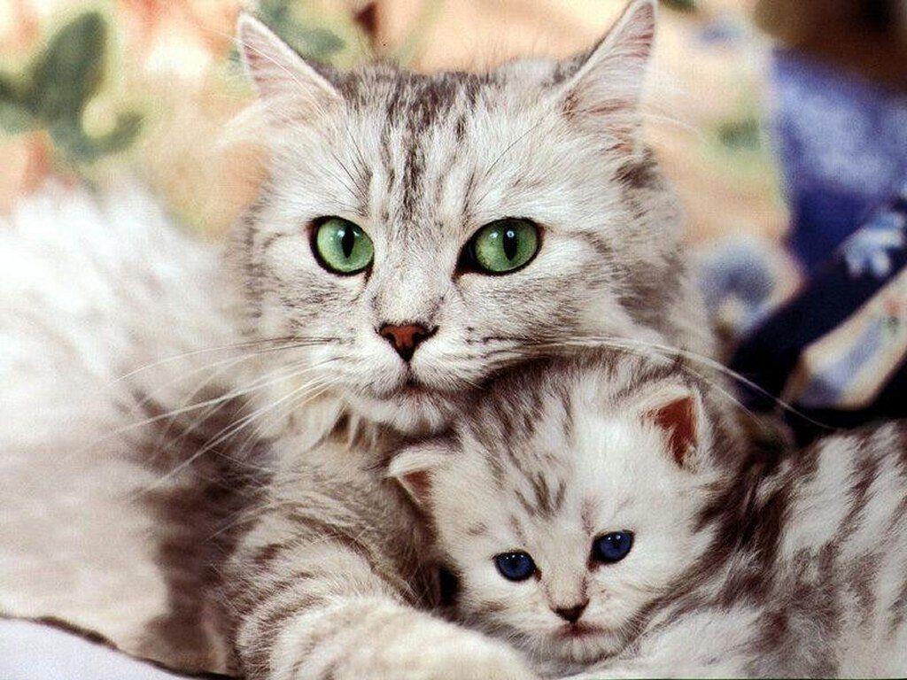 بالصور اجمل صور قطط , شاهد بالصور ارق انواع القطط 1867 10