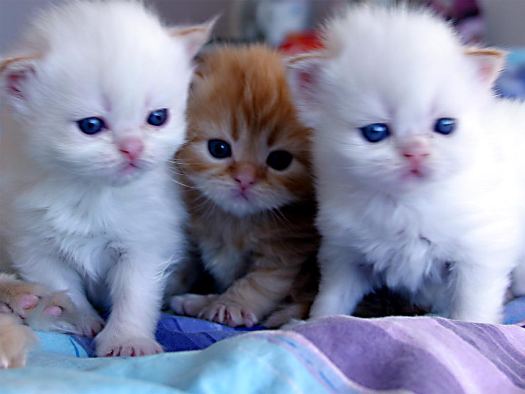 بالصور اجمل صور قطط , شاهد بالصور ارق انواع القطط 1867 11