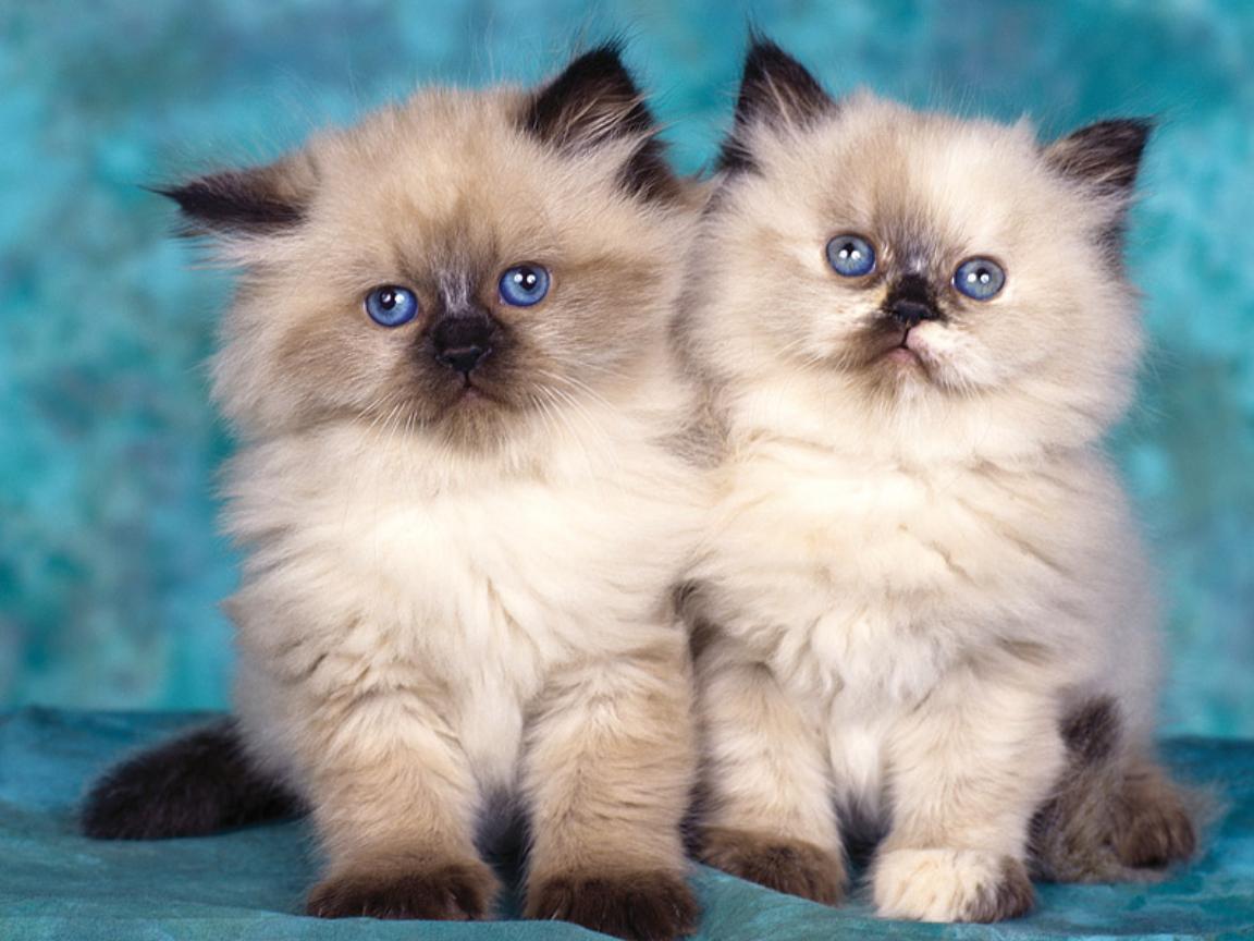 بالصور اجمل صور قطط , شاهد بالصور ارق انواع القطط 1867 13