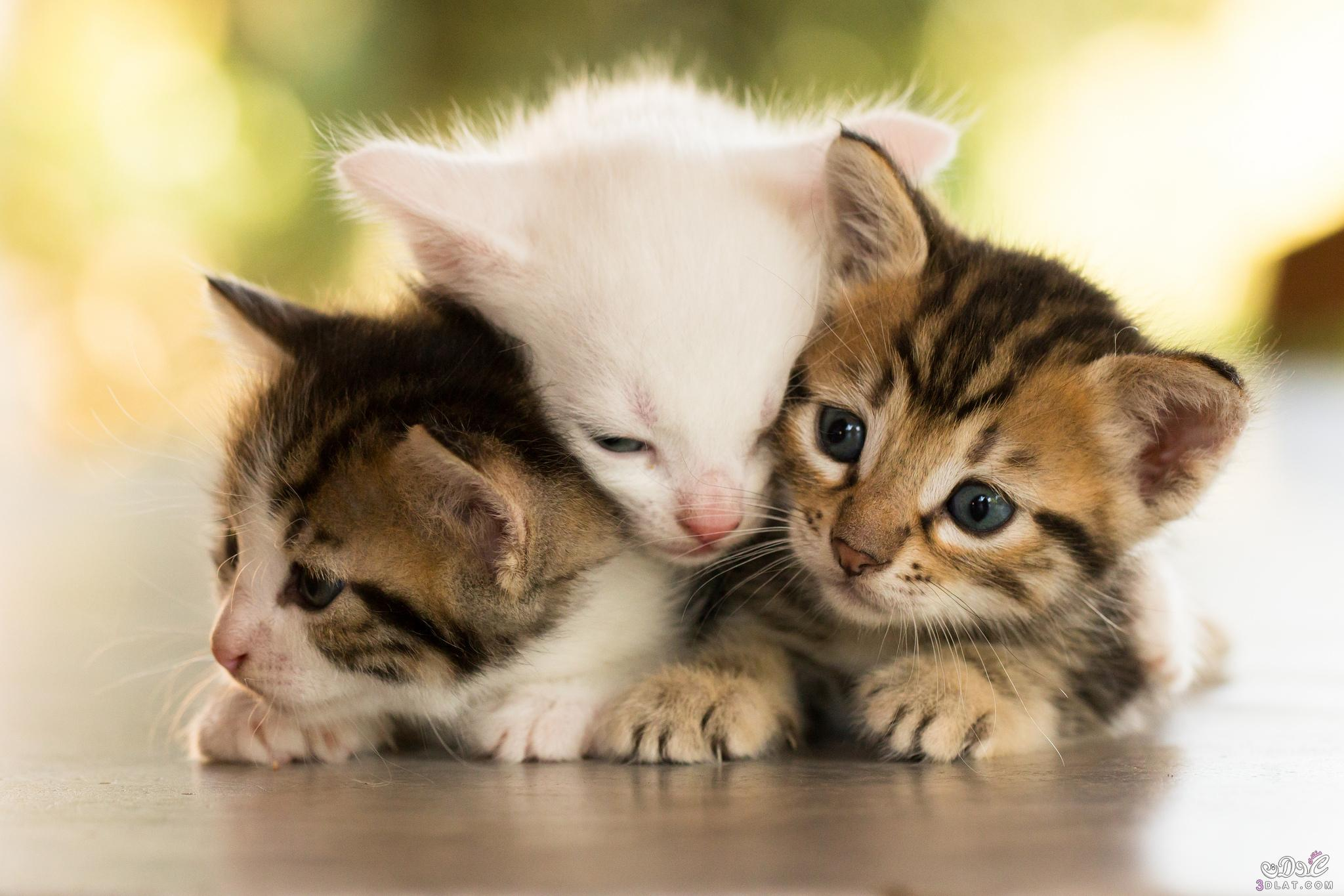 بالصور اجمل صور قطط , شاهد بالصور ارق انواع القطط 1867 3