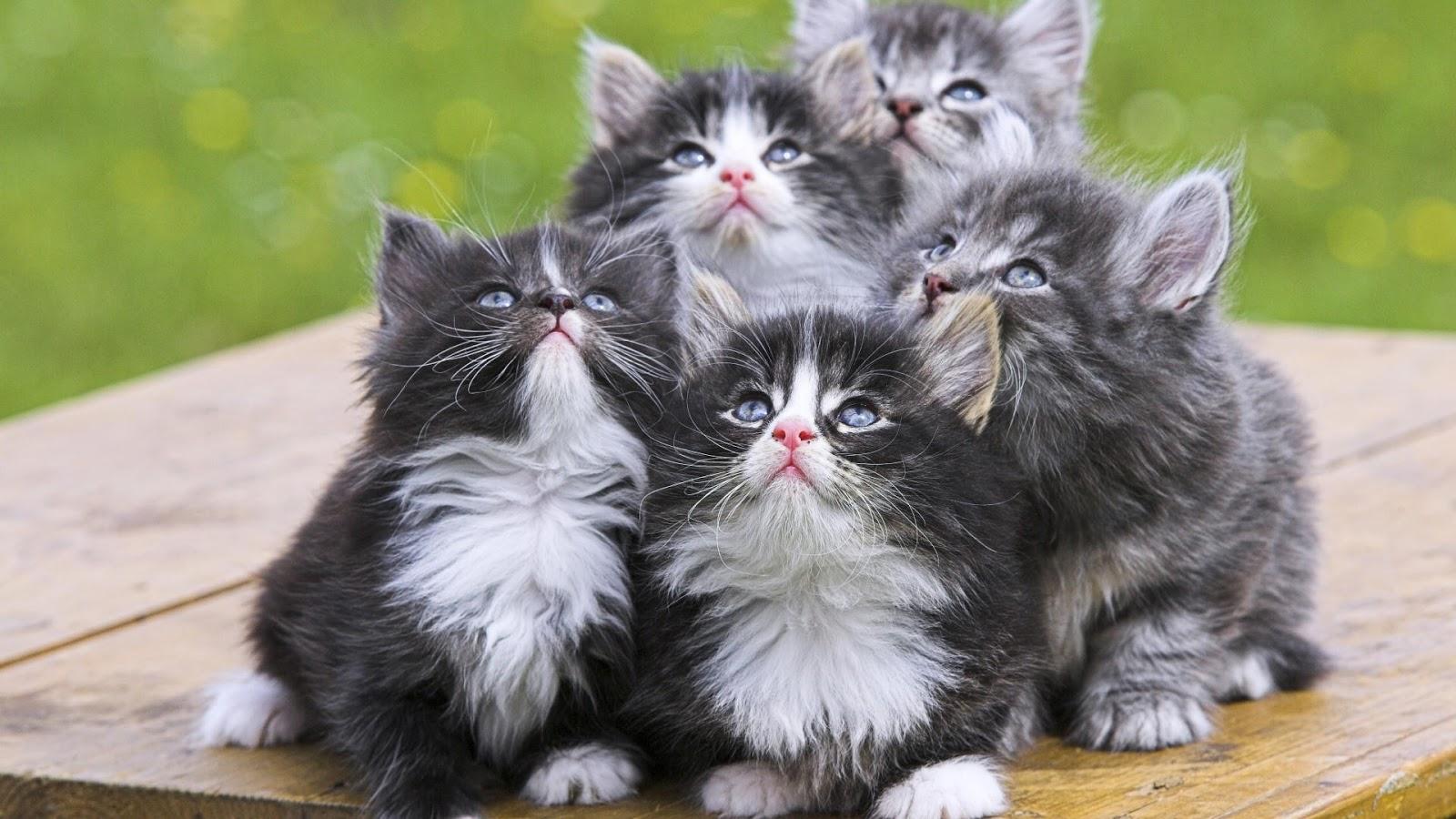 بالصور اجمل صور قطط , شاهد بالصور ارق انواع القطط 1867 4