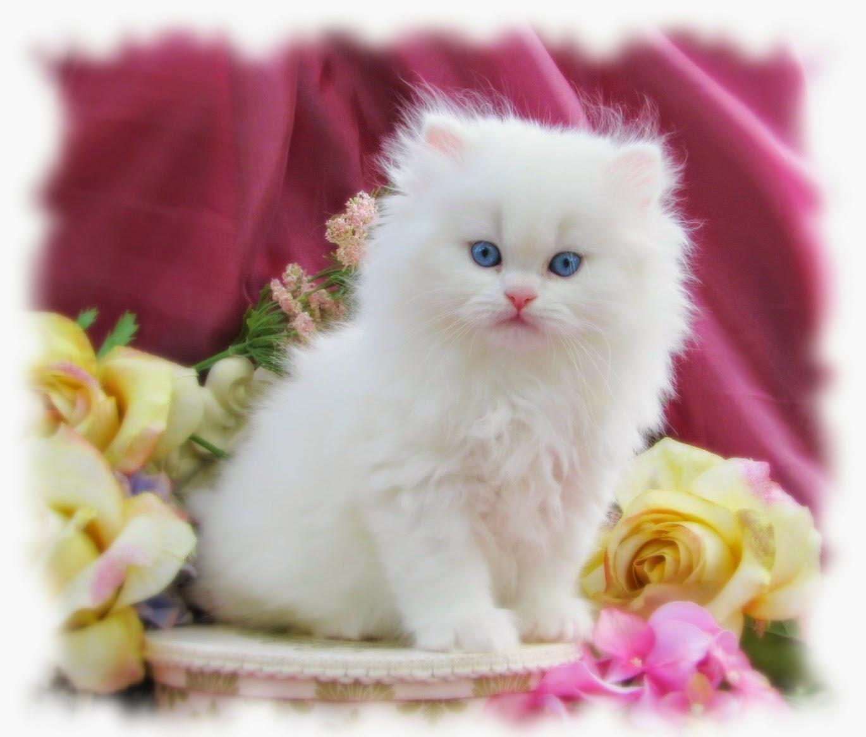 بالصور اجمل صور قطط , شاهد بالصور ارق انواع القطط 1867 5