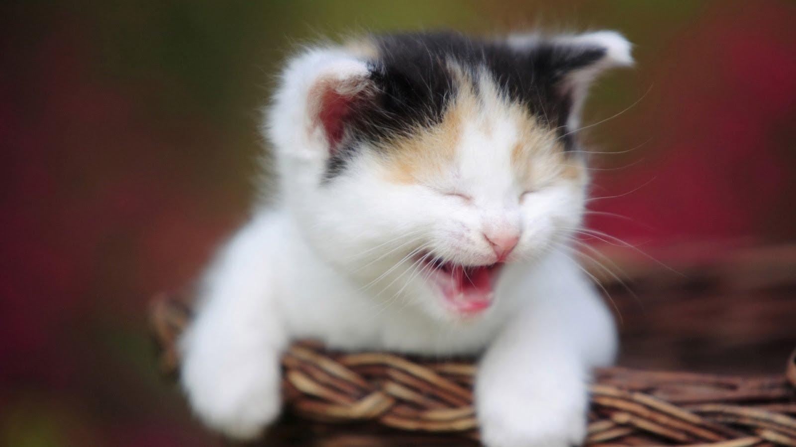 بالصور اجمل صور قطط , شاهد بالصور ارق انواع القطط 1867 9
