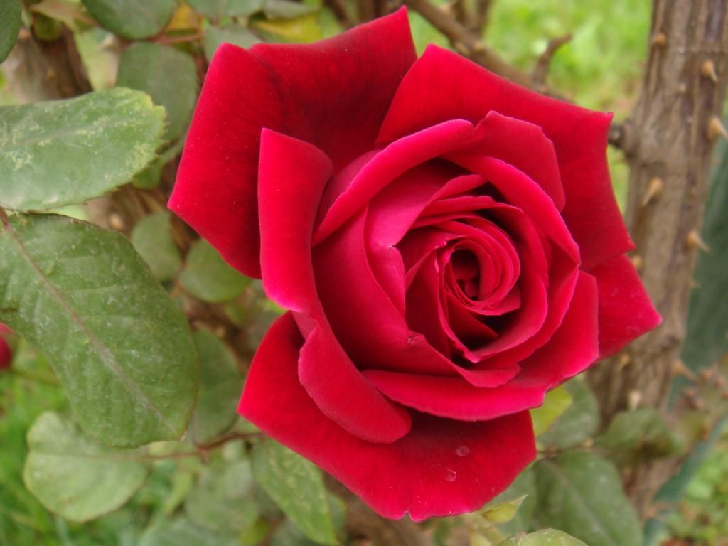 بالصور صور ورد طبيعي , شاهد الرقة الشعرية التى توجد فى الورود 1916 12