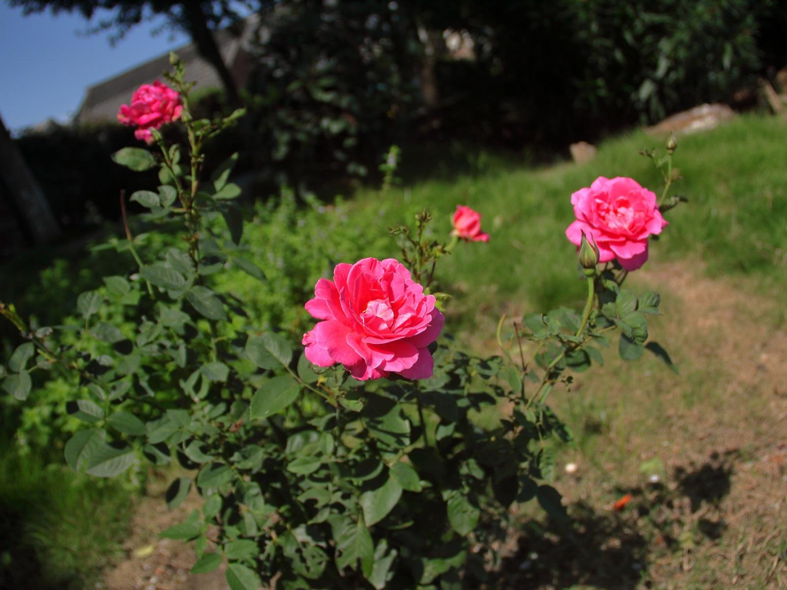 بالصور صور ورد طبيعي , شاهد الرقة الشعرية التى توجد فى الورود 1916 13