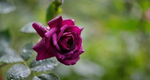 صور صور ورد طبيعي , شاهد الرقة الشعرية التى توجد فى الورود