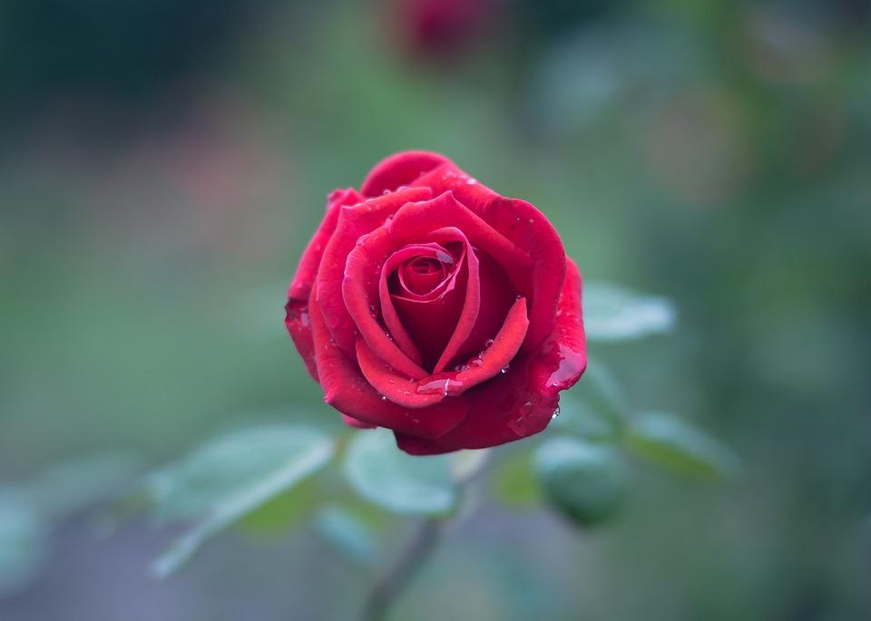 بالصور صور ورد طبيعي , شاهد الرقة الشعرية التى توجد فى الورود 1916 2