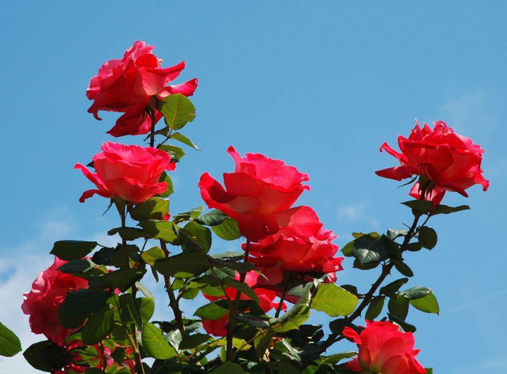 بالصور صور ورد طبيعي , شاهد الرقة الشعرية التى توجد فى الورود 1916 5