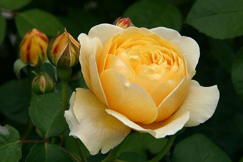 بالصور صور ورد طبيعي , شاهد الرقة الشعرية التى توجد فى الورود 1916 9
