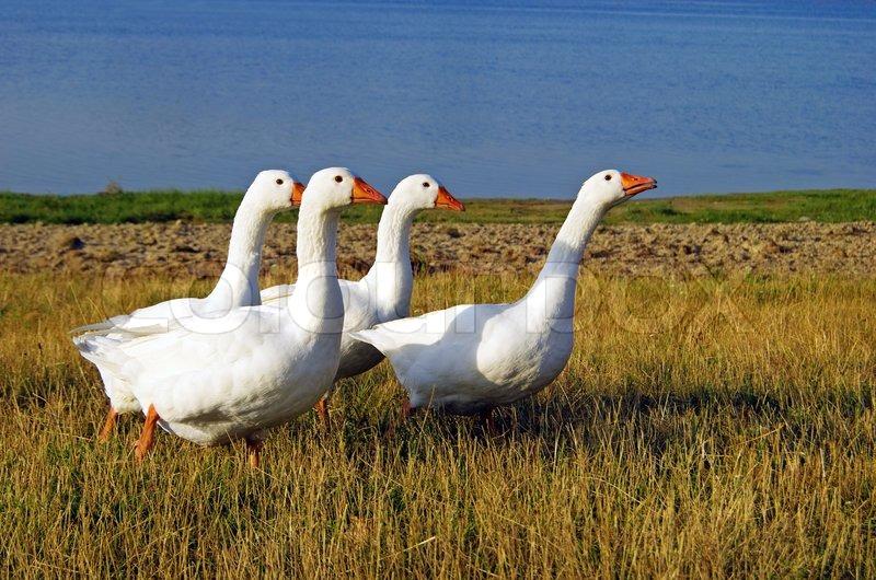 بالصور صور حيوانات المزرعة , اروع الصور المختلفه للحيوانات 10509 11