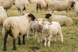 صور صور حيوانات المزرعة , اروع الصور المختلفه للحيوانات