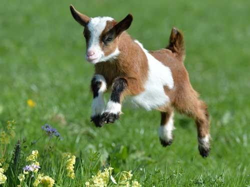 بالصور صور حيوانات المزرعة , اروع الصور المختلفه للحيوانات 10509 4