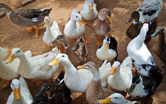 بالصور صور حيوانات المزرعة , اروع الصور المختلفه للحيوانات 10509 5