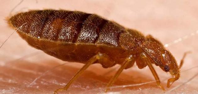صور القضاء على البق , ازاي تتخلصي من حشرة البق المزعجة