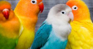 معلومات عن طائر الروز , كل ماتريد معرفته عن طائر الحب