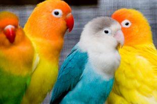 صورة معلومات عن طائر الروز , كل ماتريد معرفته عن طائر الحب