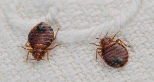 ما هو البق , معلومات هامة عن حشرة البق