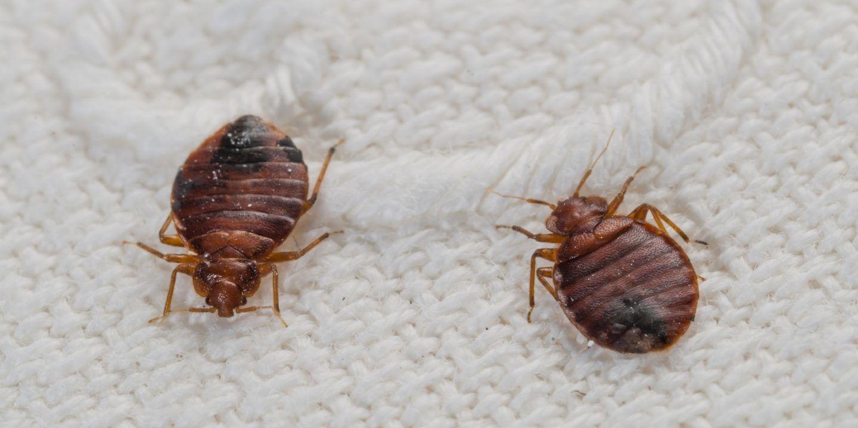 صورة ما هو البق , معلومات هامة عن حشرة البق