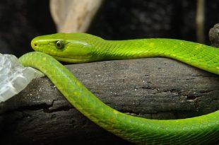 صورة تفسير حلم ثعبان اخضر , اهم تاويلات الثعابين في الحلم