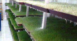 فوائد استنبات الشعير , اهم الفوائد لنبتة الشعير