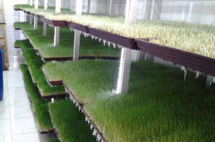 صورة فوائد استنبات الشعير , اهم الفوائد لنبتة الشعير
