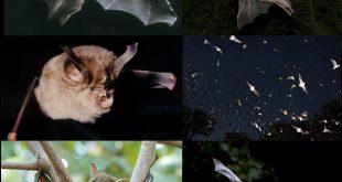 اسباب ظهور الخفاش , اماكن واسباب لوجود الخفافيش