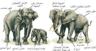 فترة حمل الفيل , اطول فترات الحمل لاضخم حيوان