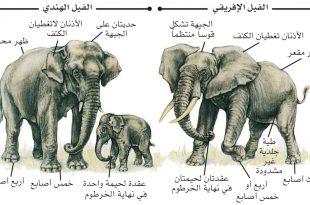 صورة فترة حمل الفيل , اطول فترات الحمل لاضخم حيوان